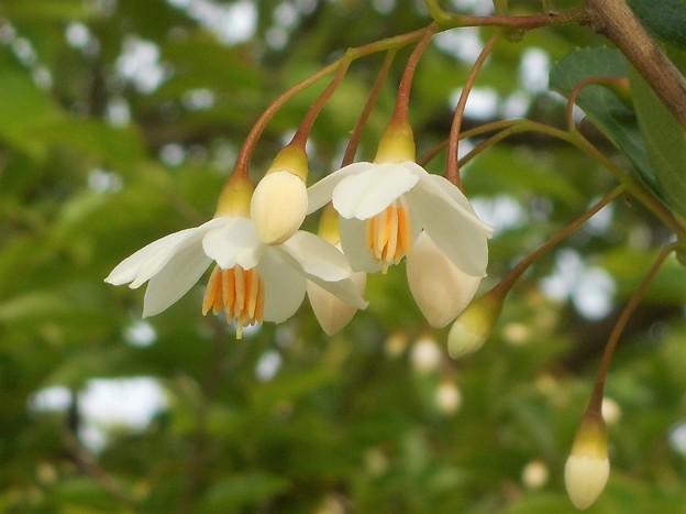 エゴノキに白い花@びんご運動公園