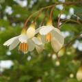 Photos: エゴノキに白い花@びんご運動公園