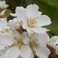 シャリンバイの白い花@車輪梅@びんご運動公園
