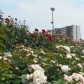 白いマリアテレジアが満開@ばら花壇
