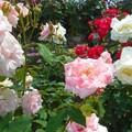 マリー・アントワネットが満開@緑町公園ばら花壇@福山ばら祭