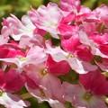 新緑に咲く@宿根バーベナの季節
