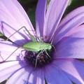 Photos: 高原のblueな花と miniな昆虫@新緑の候