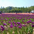 写真: バイオレットなチューリップ畑@世羅高原農場