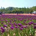 Photos: バイオレットなチューリップ畑@世羅高原農場