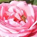 """新緑の薔薇 """"寿""""に@キュートなミツバチくん@福山ばら祭"""
