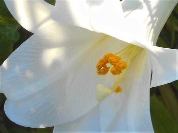 持光寺の庭に咲く@白百合の花@古寺めぐり