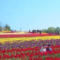 春爛漫の世羅高原@花の絨毯@のどかなチューリップ畑