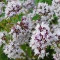 Photos: キュートに咲く白い花@光明寺@古寺めぐり