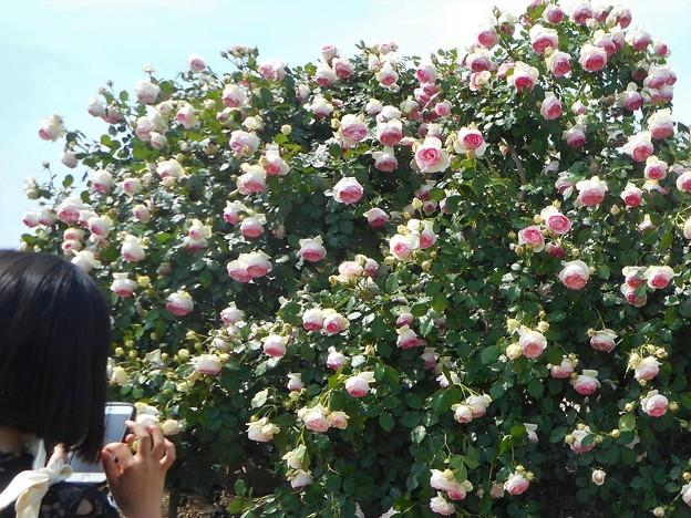 今年もピエール・ドウ・ロンサールが満開@ばら花壇屋上にて@福山ばら祭