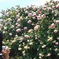 Photos: 今年もピエール・ドウ・ロンサールが満開@ばら花壇屋上にて@福山ばら祭