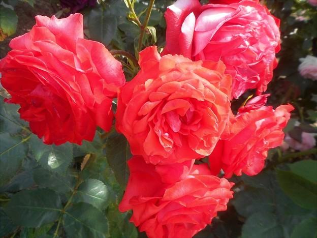 """新緑の薔薇 """"パパ メイアン""""@福山ばら祭"""