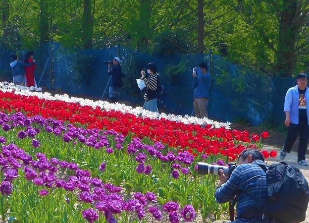 チューリップを撮る@初夏の世羅高原