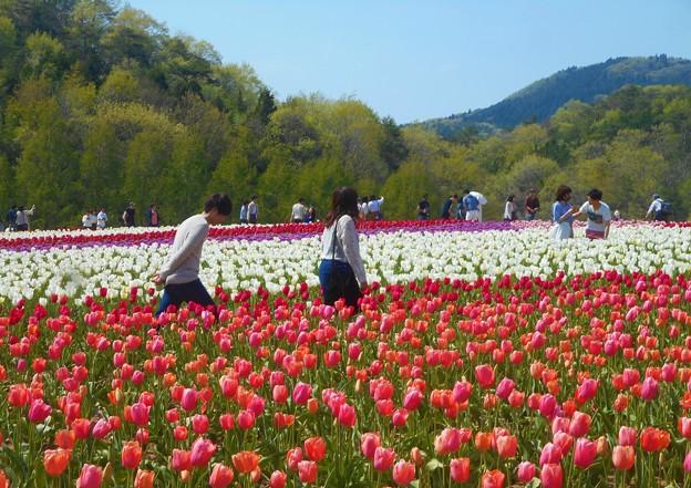 お花畑を散歩する@チューリップ畑@世羅高原農場