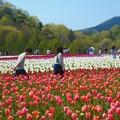 Photos: お花畑を散歩する@チューリップ畑@世羅高原農場