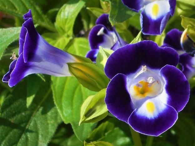 さわやか トレニア の花盛り