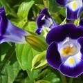 Photos: さわやか トレニア の花盛り
