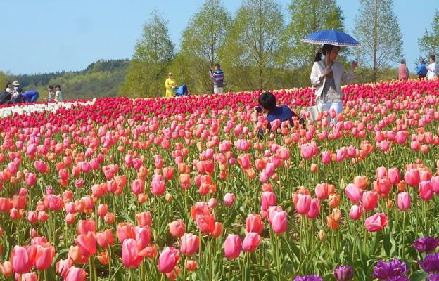 300種類75万本のチューリップ畑@春爛漫の世羅高原農場