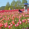 Photos: 300種類75万本のチューリップ畑@春爛漫の世羅高原農場