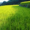 写真: 遥か遠く@久山田(ひさやまだ)水源池が見える@収穫の秋