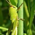 写真: キュートなツチイナゴの幼虫くん@ススキの穂の茎
