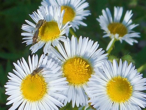 小さな昆虫たちの世界@ヒメジョオン@久山田水源池