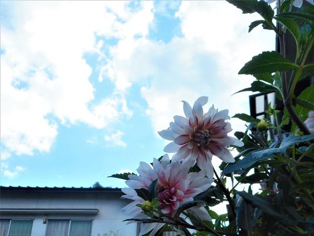 Photos: 台風一過@青空にダリア咲く
