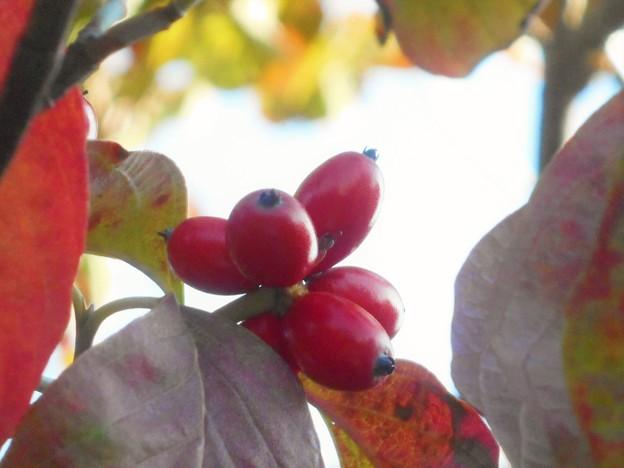 秋の色@ハナミズキ@実りの秋