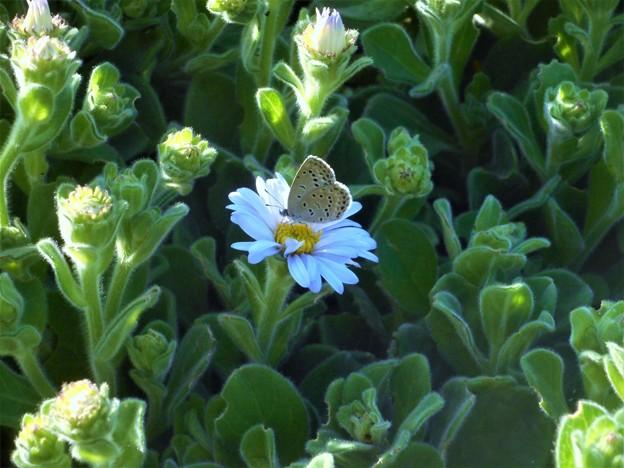 キュートな ヤマトシジミちゃん@高原の白い花