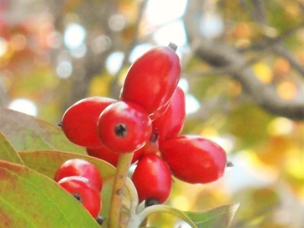 ハナミズキの紅い実@秋色
