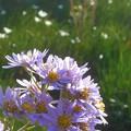 写真: 紫苑とタマスダレ
