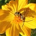 写真: 元気に花粉集め@キュートなキンケハラナガツチバチ(♂)@コスモス畑