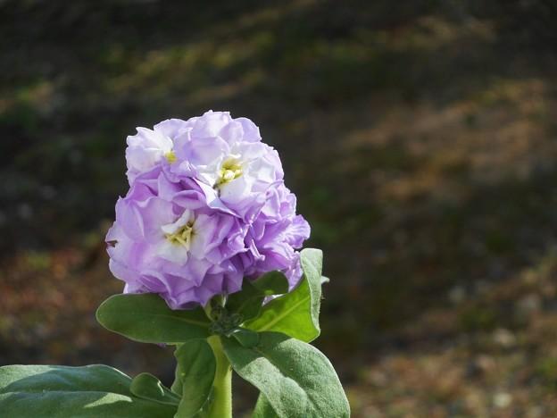 ストックの青い花@ブルーサファイアのように