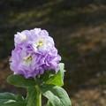 写真: ストックの青い花@ブルーサファイアのように
