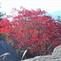 写真: 山頂の紅葉@ハゼノキ@浄土寺山