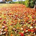 写真: 今朝の公園の落ち葉・紅葉