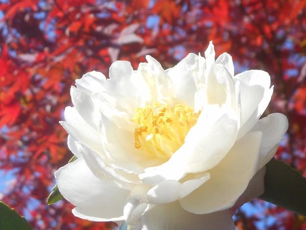 写真: 紅葉と八重のサザンカの花