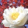 紅葉と八重のサザンカの花
