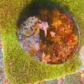 写真: 鳳林閣の紅葉@佛通寺