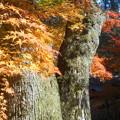 Photos: 山門前の紅葉と苔むすオオクス@名勝・古刹・佛通寺