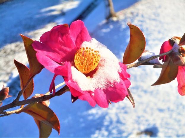 雪の朝@八重のさざんか2018.1.11