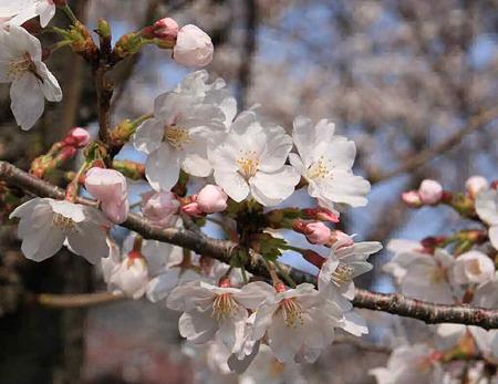 iwakura sakuramaturi-230408-7