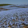 写真: 藍色浪漫花海