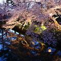 写真: 藍調夜櫻