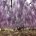 写真: 紫藤之美