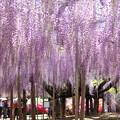 写真: 紫色的浪漫