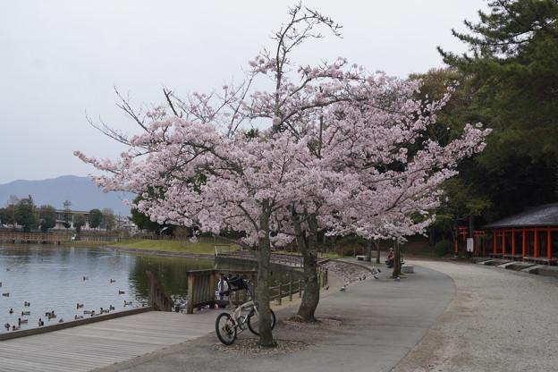 橿原神宮の桜