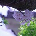 写真: 桜と櫓門
