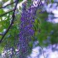 自然界の藤