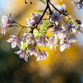 りんくうタウンのヒマラヤ桜2